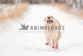 Crazy dog running in snow while wearing boots