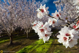 Almond Blossoms #6