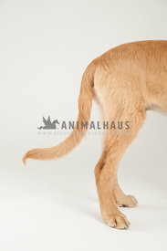 golden retriever puppy butt legs and tail standing on a white background