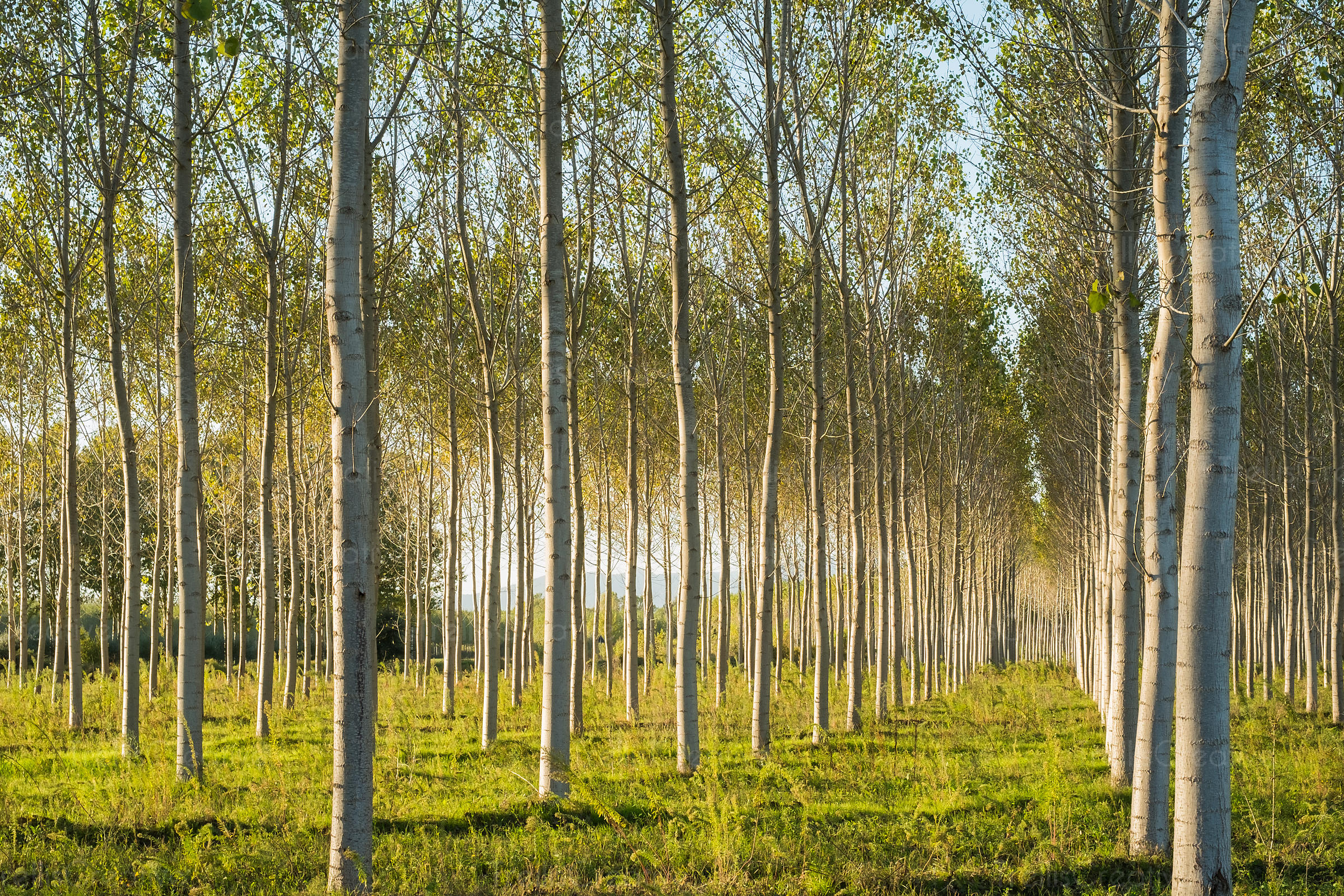 Stand of birch trees in Piedmont, Italy