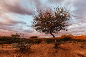 Thorn Tree and Rainbow at Sunset