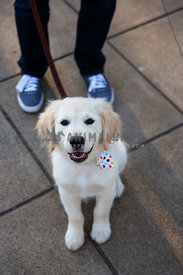 golden puppy with polka dot bow tie sitting at feet of owner