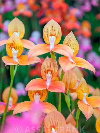 Disa Orchids