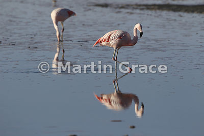 Chilean Flamingo (Phoenicopterus chilensis) in the salt flats of Sector Soncor, Reserva Nacional los Flamencos, Salar de Atac...