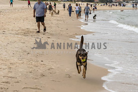 Dark colored Kelpie running towards camera on a beach with people and dogs in background. Kelpie has ball in his mouth.