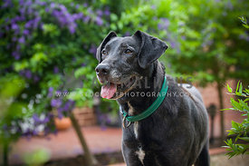 Happy Senior Black Labrador