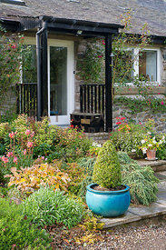Planting by front door of house including clipped conifer in pot, hostas, snapdragons, pelargoniums and climbing roses on wall