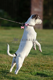 small-jack-russell-terrier-dog-standing-pulling-in-grass