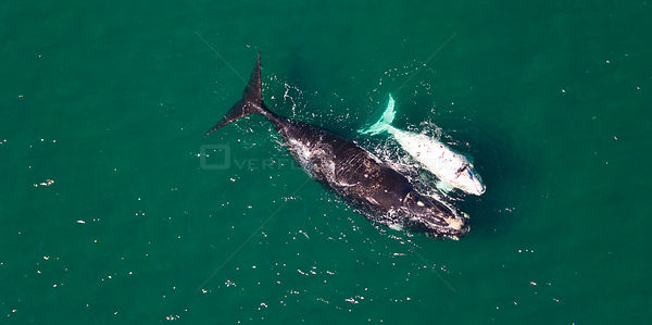 Aerial view of Southern right whale (Eubalaena australis / Balaena glacialis australis) mother and calf. Valdes Peninsula, Pa...