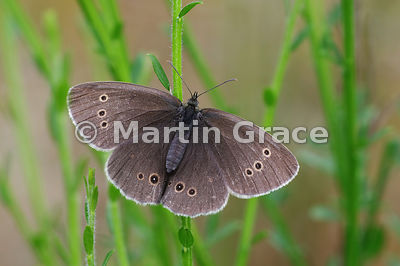 Upper side of typical female Ringlet butterfly (Aphantopus hyperantus) with rings very evident, Cairngorms National Park, Bad...