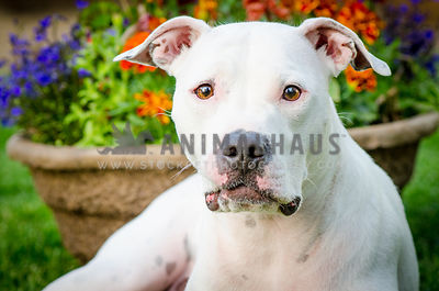 white bully breed dog with charcoal freckles and pink skin looks mesmerizingly into the lens with a burst of colorful flowers...