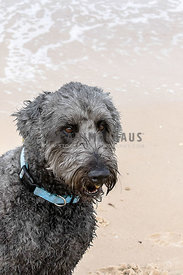 Grey hairy dog looking off camera sitting on a beach, portrait mode, space at top.