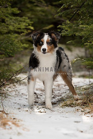 Australian Shepherd puppy in snow