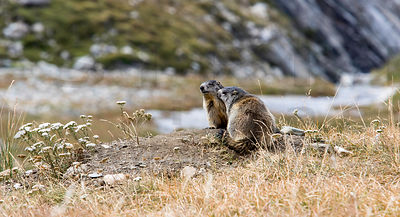 The Alpine marmots
