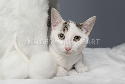 White kitten laying down looking at camera
