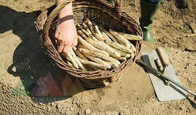 Germany, Hesse, Lampertheim, senior farmer cutting asparagus, Asparagus officinalis, close-up
