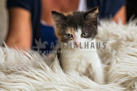 angry looking kitten on faux fur blanket with owner behind