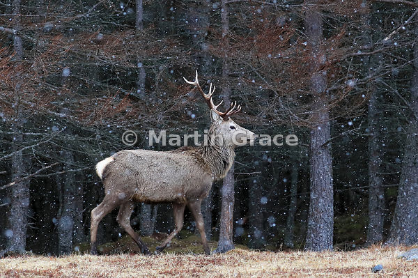 Red Deer stag (Cervus elaphus) in front of forestry, in falling snow, Badenoch & Strathspey, Scottish Highlands