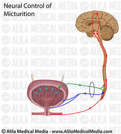 Neural control of urination reflex, unlabeled.