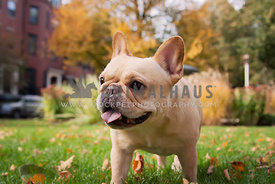 Franch Bulldog walking in a city park