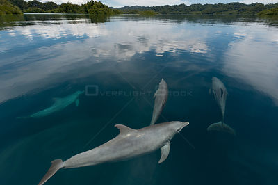 Indo-Pacific bottlenose dolphins (Tursiops aduncus) just below surface in flat calm  waters. Raja Ampat, West Papua, Indonesi...