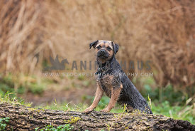 border terrier puppy standing on a log