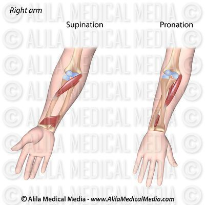 Pronation of forearm, unlabeled.