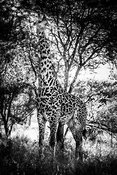 07923-Giraffe_between_trees_Tanzania_2018_Laurent_Baheux