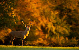 Red Deer in Autumn Gold