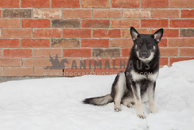 German Shepherd mix sitting in the snow in front of a brick wall