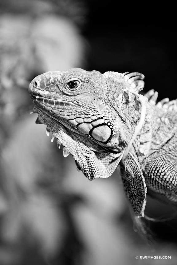 IGUANA FLORIDA KEYS BLACK AND WHITE