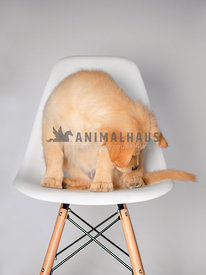silly golden retriever puppy sitting in a chair looking down at her paw