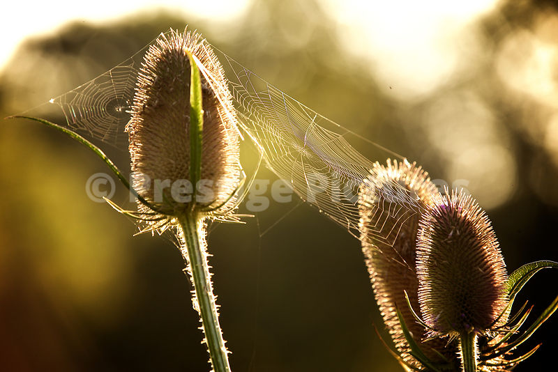 Common Teasel Plants with Spider's Web Between in Closeup
