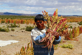 Man harvesting quinoa by hand, Oruro Department, Bolivia