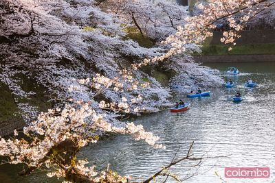 Cherry tree in bloom and river, Tokyo, Japan