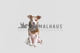 Cute chihuahua mix wearing winter scarf against white background