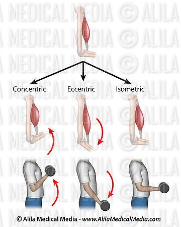 Concentric, eccentric and isometric muscle contractions.