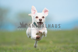 close up of small mixed breed running straight for the camera with all paws off the ground