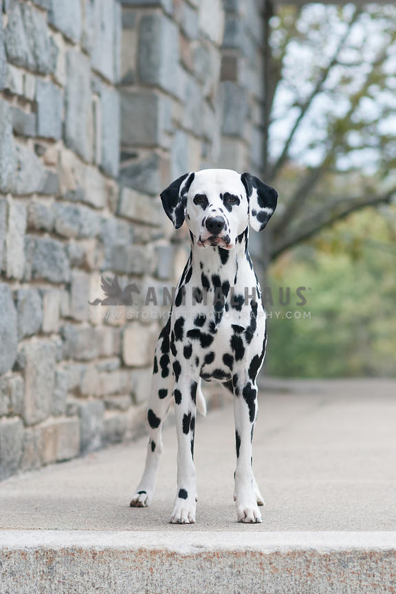Dalmatian standing by stone building