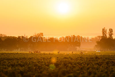 Workers in vineyards of Beaujolais during the golden hour, France
