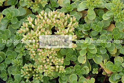 Sedum spurium 'Album Superbum', Collection Pépinières Lepage