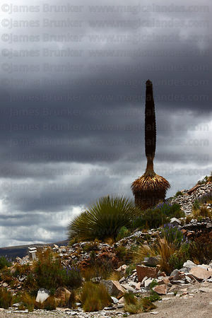 Dead Puya raimondii plant after flowering, Bolivia