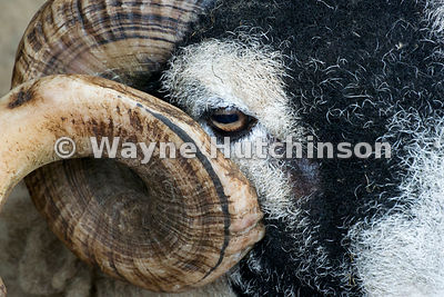Close up of face of a swaledale ram, Cumbria, UK