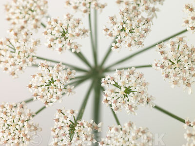 Cow Parsley close-up