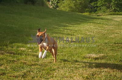 Boxer bounding through a sunny field