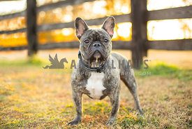 Brindle French Bulldog stands in front of a wooden farm fence during sunset in the fall
