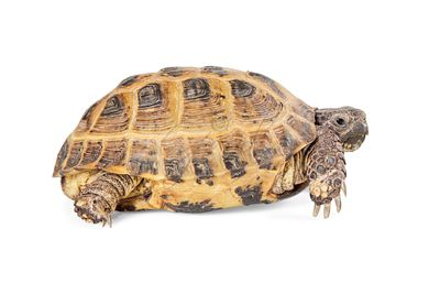 Russian Tortoise - Side View