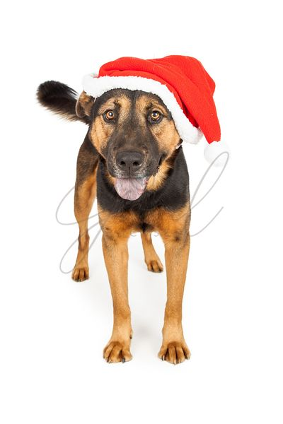 Shepherd Dog Wearing Santa Hat