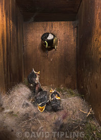 Great Tit, Parus major, feeding young inside a nest box Norfolk May