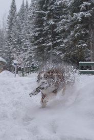 Action shot of dog carrying stick, racing with snow flying